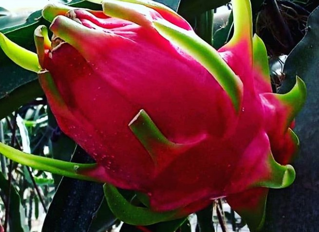Pitahaya rosa o fruta del dragón!!